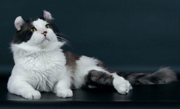 Для разведения подбирают кота и кошку, которые соответствуют породному стандарту