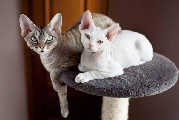 Главными достоинствами характера кошки девон-рекс выступают дружелюбие