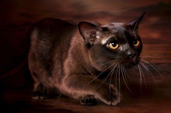 Главным достоинством бурманской кошки является окрас, непохожий на другие
