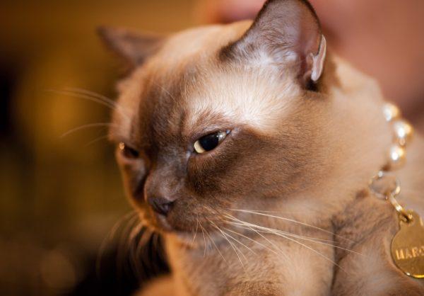 Уход за бурманской кошкой не составит труда