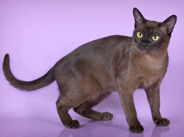 При любом подозрении на заболевание у бурманской кошки лучше сразу обратиться к ветеринарному специалисту