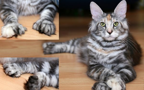 Полидактилия у кошек