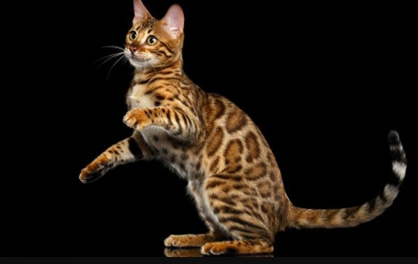 Фазинг является особенностью кошки, которая генетически связывает ее с дикими предками