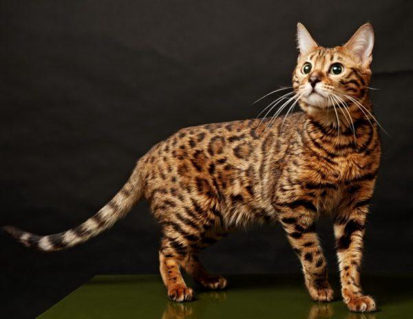 Кошка с пятнистым окрасом имеет полосатый хвост с темным концом и полосы на лапах
