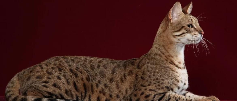 Кошка ашера - описание породы фото