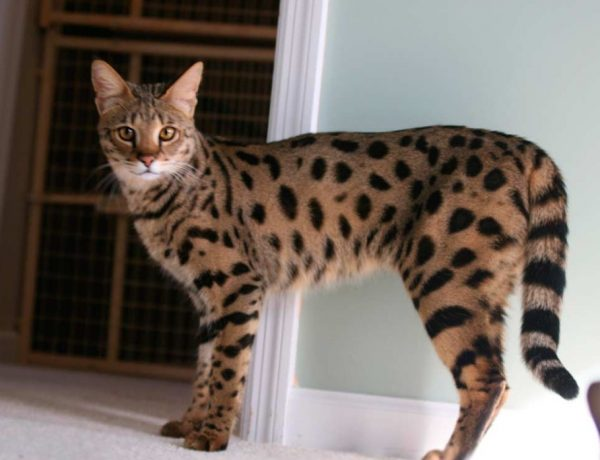 Ашера – редкая порода кошек, выведенная в Америке