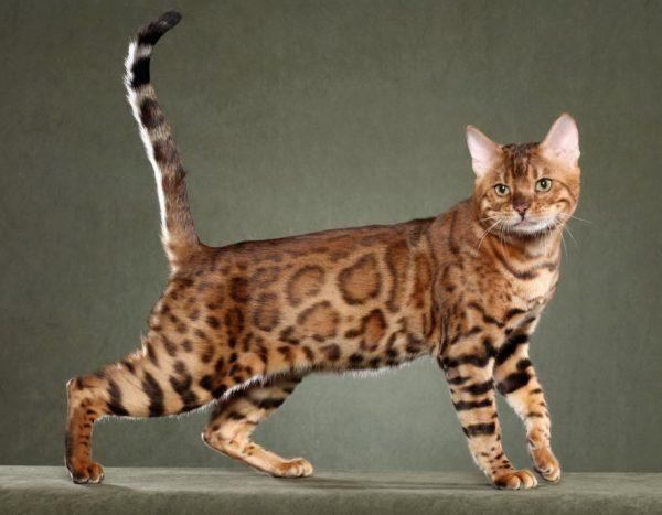Большие кошки породы ашера требуют много места для игр.