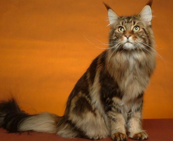 Мейн-куны известны своим большим размером: вес взрослого кота достигает 10 килограммов