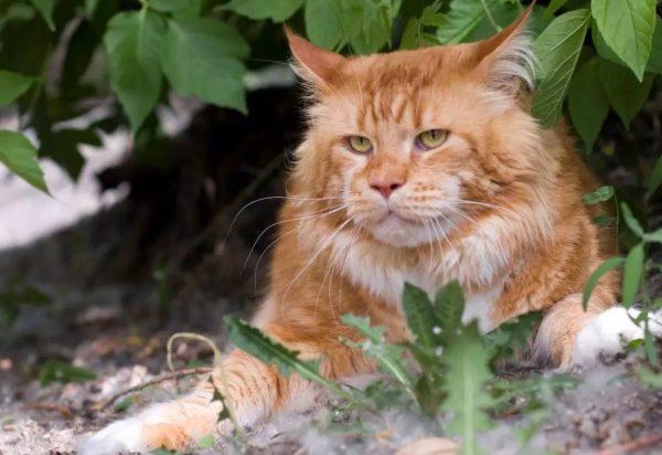 Мейн-куна нельзя кормить тем, что запрещено давать любым кошкам