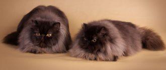 Самые милые и нежные животные кошки породы Селкирк Рекс