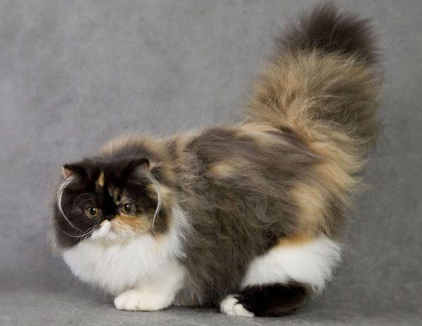 В среднем персидская кошка при правильно уходе живет 13-15 лет
