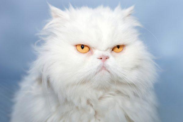 Для причесывания кошки выбирают стальные расчески