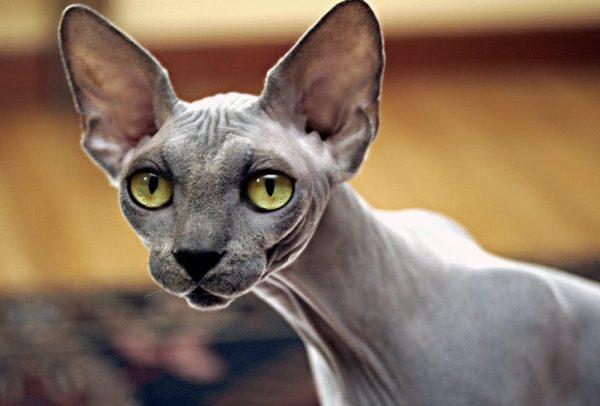 Порода кошек сфинкс не приспособлена для жизни в условиях дикой природы