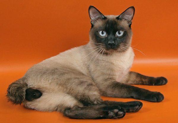 Кошки миниатюрны – 2-2,5 кг, коты крупнее – до 4-5 кг.