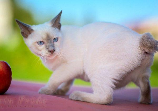 Для первой вязки выбирают опытного кота доминантного характера