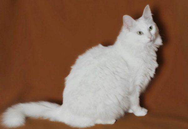 Кошачья шерсть холодных оттенков имеет свойство накапливать чужеродный желтый пигмент