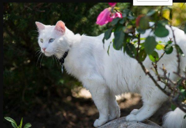 Половозрелость у кошек породы ангора наступает с 12-18 месяцев