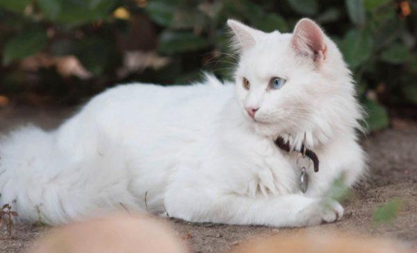 Лучший детородный возраст кошки - в пределах 7-8 лет