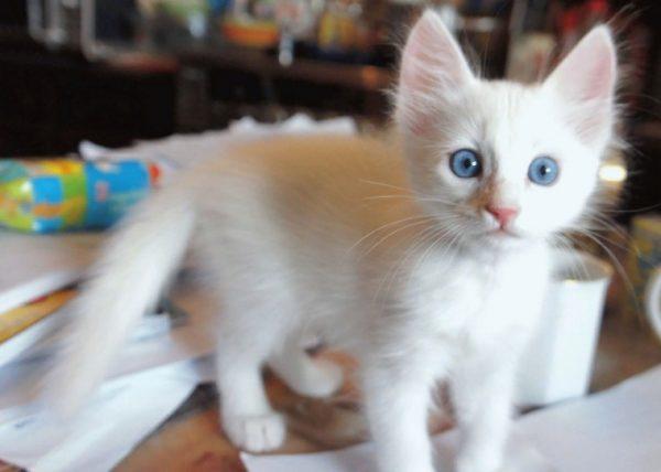 При выборе котёнка нужно быть особенно внимательным, потому что у турецкой ангоры часто встречается врождённый порок – глухота