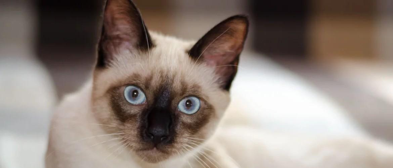 Почему сиамские кошки пользуются популярностью у тысяч заводчиков