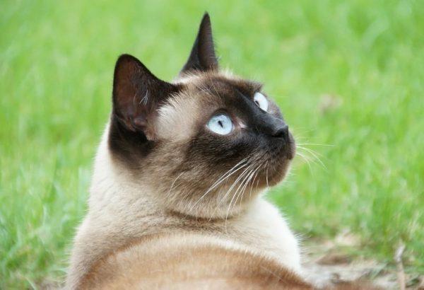 Многие часто путают сиамца с тайскими кошками