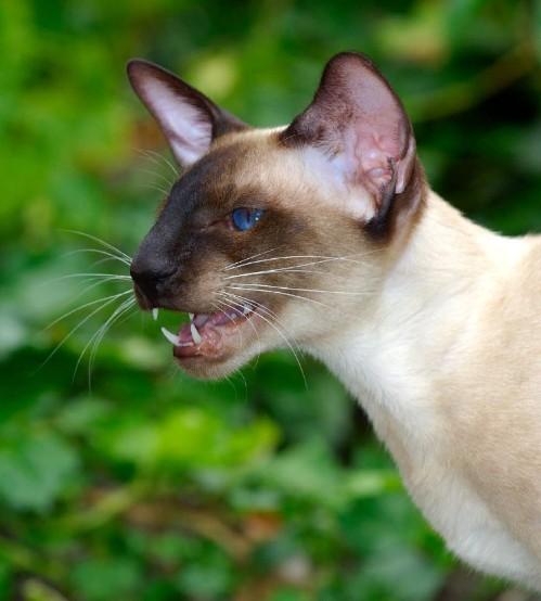 Сиамские кошки привязываются к хозяевам, любят контролировать всё происходящее в доме