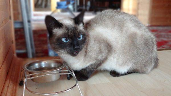 Ветеринары советуют кормить сиамских котов только качественными кормами