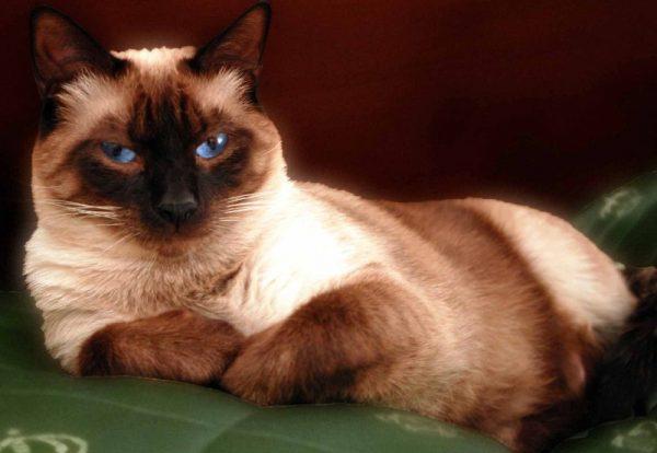 При выборе партнёра для сиамской кошки следует отдавать предпочтение опытному производителю