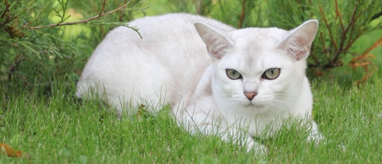 Порода кошек бурмилла - описание породы, характер
