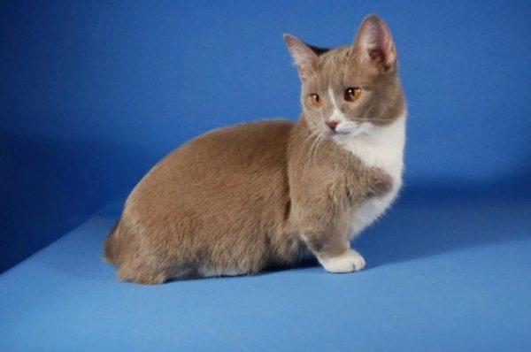 Шерсть кошек расчесывают раз в 1-2 недели