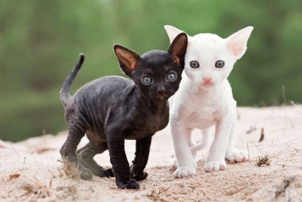 Котенок корниш-рекс