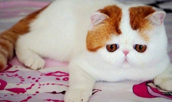 Экзотическая короткошерстная кошка: внешность, содержание, характер, цены на котят