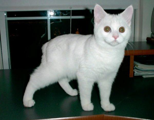 Бесхвостая кошка породы мэнкс