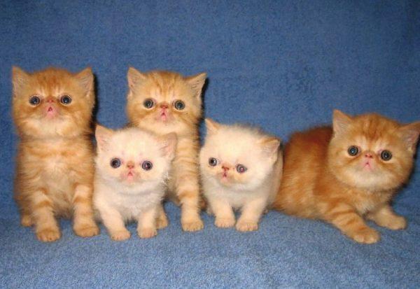 Стоимость котенка экзотической короткошерстной варьируется от 10 до 50 тысяч