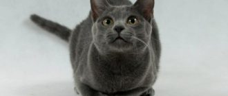 Кот сфинкс: происхождение породы и подвиды