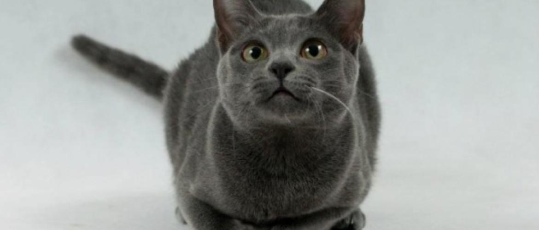 Корат кошка: цена, фото, описание породы и характер, преимущества
