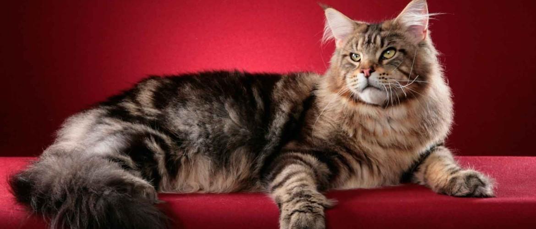 Какой нормальный вес и размер взрослого кота мейн-куна