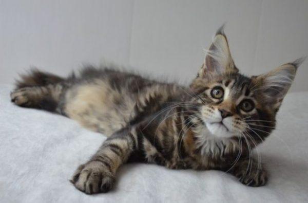 Мейн-куны – самые крупные домашние кошки в мире