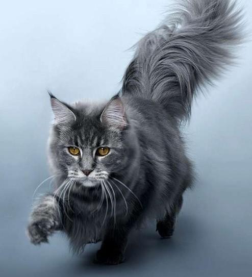 Кошки мейн-кун отличаются завидным здоровьем