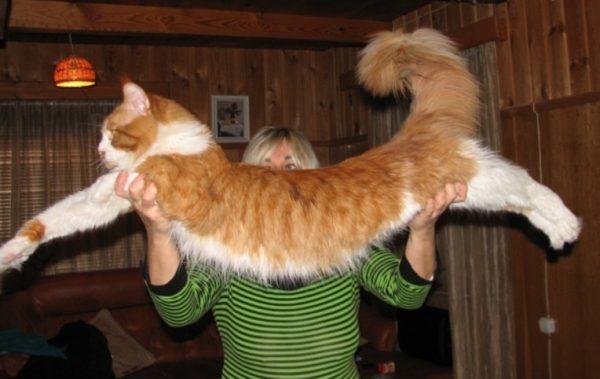 Длина самого крупного кота в мире составляет 123 см