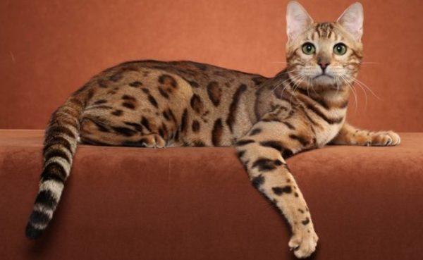 Бенгальский кот — широкоплечий и мускулистый домашний питомец