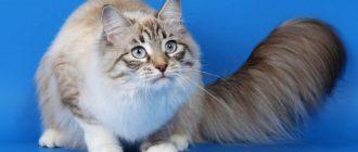 Балинезийская кошка писание породы