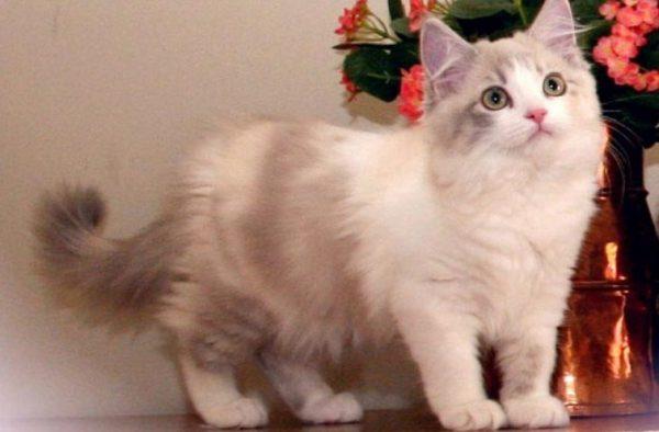 Котенок рагамаффина