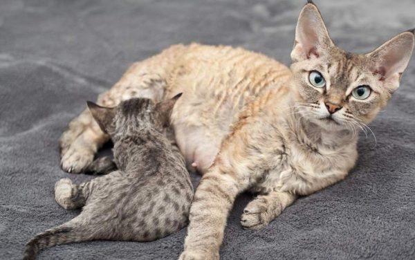 Партнера для кошки выбирают из числа представителей своей породы