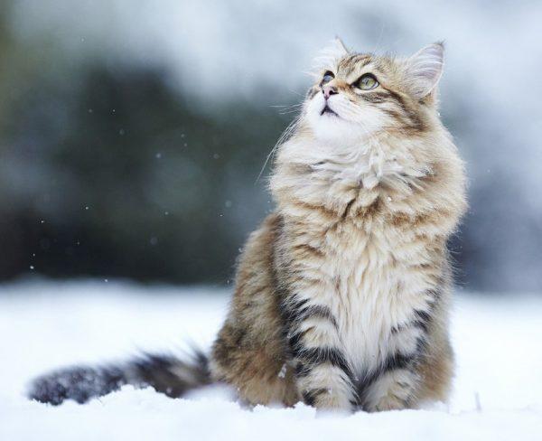 Окрас классический табби (мраморный) часто встречается у котов сибирской породы