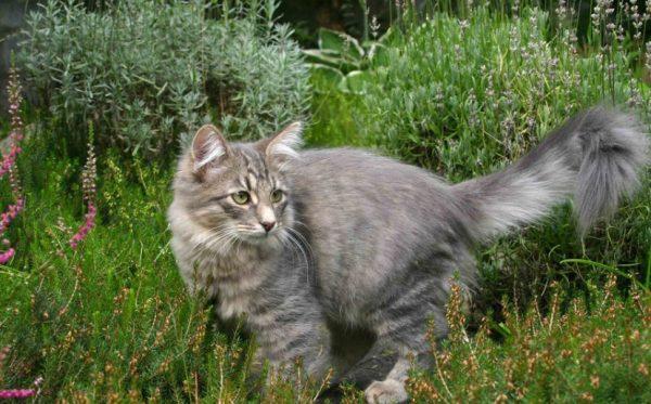 Коты сибирской породы привязаны к хозяину