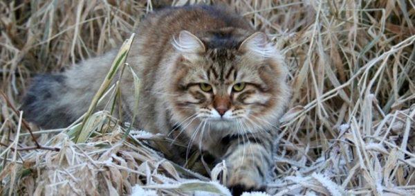 «Сибиряки» не склонны к образованию колтунов