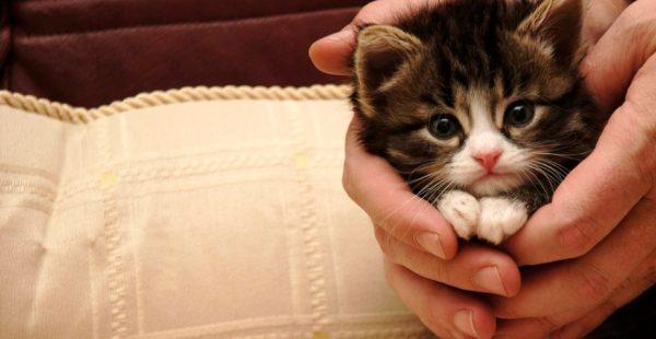 Приобретать котенка стоит только в питомниках