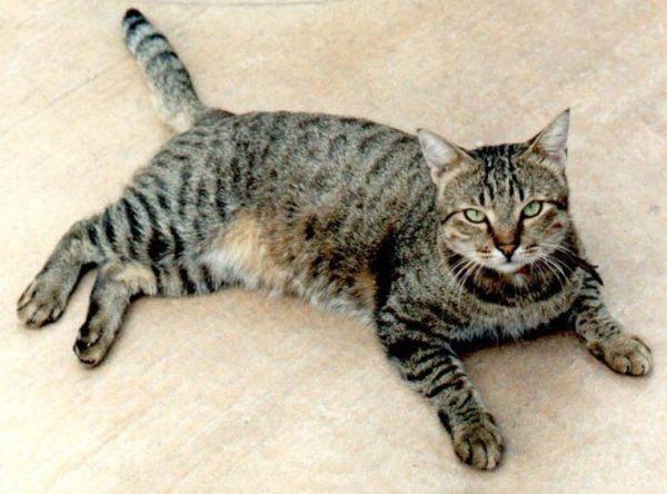 Короткошерстные породы кошек – самые распространенные в мире