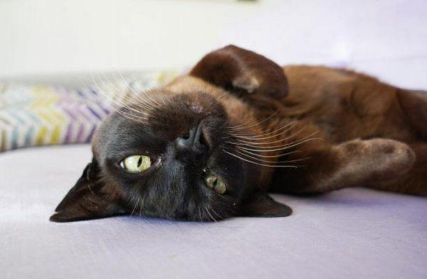 Бурманская кошка, или бурма